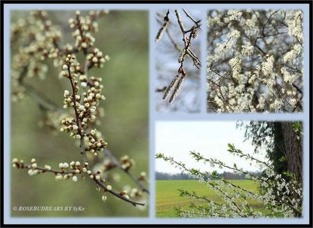 dicke Blütenknospen und die ersten Bäume blühen schon - ob sie den Nachtfrost überstehen?