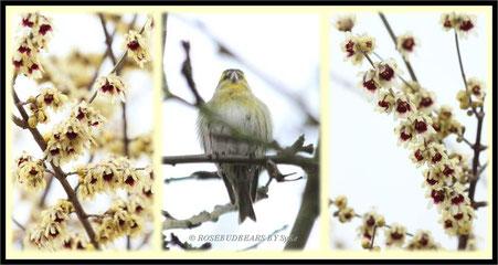 die wunderbaren Blüten des Strauchs 'Winterblüte' erscheinen in den Wintermonaten - im Sonnenschein duften sie nach Vanille