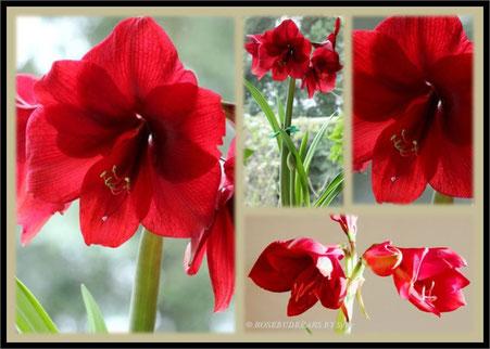 Amaryllisblüte dunkelrot