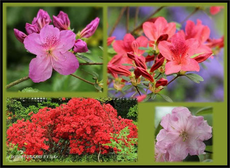 Stadtpark Hannover Rhododendronblüte Azaleenblüte