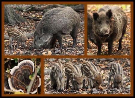 Tiergarten Hannover Wildschweine