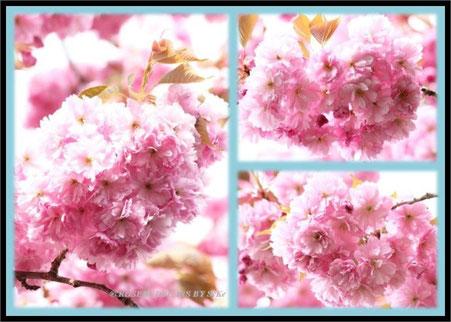 Zierkirsche Blüten