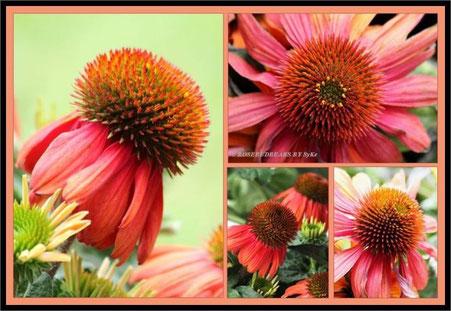 Sonnenhut - Echinacea - in einer besonders schönen Farbe