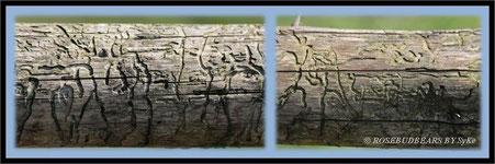 Rindenkäfer Baumstamm