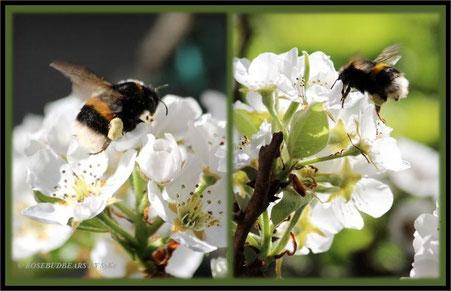 Birnbaum Blüten Hummeln