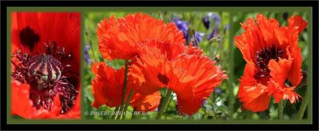Mohn gibt es in zarten Farben - oder knallig