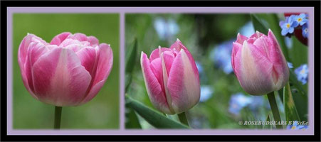 'Angélique' ist ebenfalls wieder aufgetaucht - elegantes zart-rosa