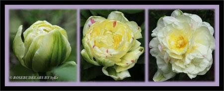 Tulpe 'Danceline' im Aufblühen - ich hatte sie mit in den großen Rosenkübel gesetzt