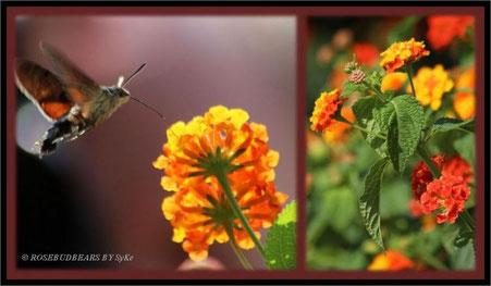 Wandelröschen Schmetterling