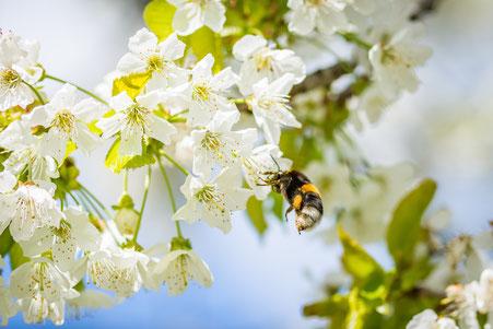 lindert die Symptome der Pollenallergie, lindert die Symptome der Pollenallergie, desenibilisierung Heuschnupfen, desensibilisierung Pollenallergie