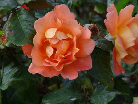 Bild: Rose orange Blüte im Herbst