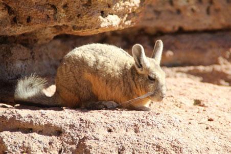 Une viscache au désert de Siloli
