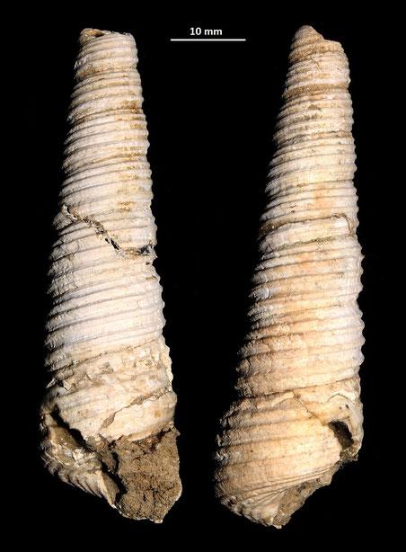 Haustator vermicularis, vicino a Ara della Regina (Tarquinia)