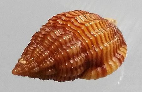 Nassarius pygmaeus, Santa Severa.