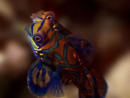 Mandarinfish - Mandarinfisch - Synchiropus splendidus (Callionymidae)