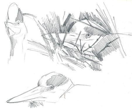 Hérons cendrés au nid (Ille-et-Vilaine, mars 2016)
