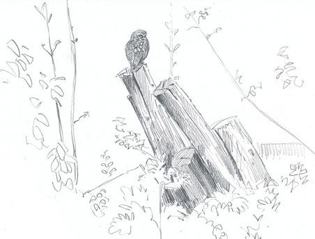 Chevêche d'Athena (Ille-et-Vilaine, avril 2015)