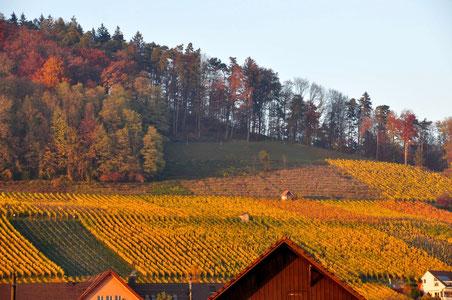 Herbstlicher Rebberg in Weiningen
