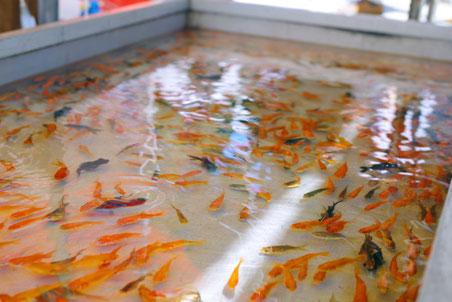 金魚 養殖 ポンプ 省エネ