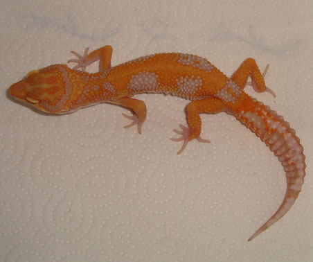 Red Stripe/Jungle Tremper Albino male