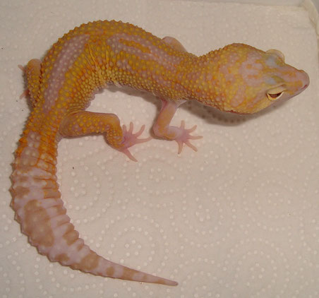 Pastel Lavender Raptor female
