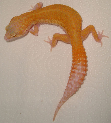 Tangerine Pastel Raptor female