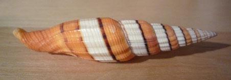 vexillum taeniatum, 7 cm
