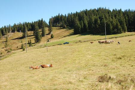 der Weg führt über die Weide - die Kühe gucken zwar, bleiben aber ruhig