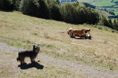 Lady guckt nur und lässt die Kühe in Ruhe