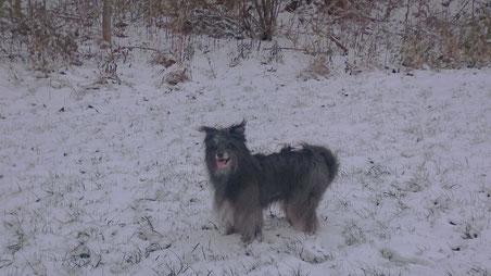 22.11.15 Lady findet den ersten Schnee in diesem Jahr toll