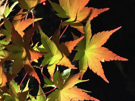 永観堂・・・京都の紅葉のライトアップ。この秋一番の感動でした!!