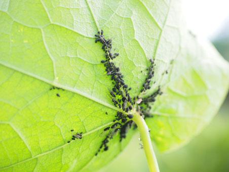 Blattläuse bekämpfen - Neben den Tierchen selbst, weisen verkrüppelte oder zusammengerollte Blätter auf einen Blattlaus-Befall hin. Verfärbungen der Blätter können wie bei vielen anderen Schädlingen auch auftreten.