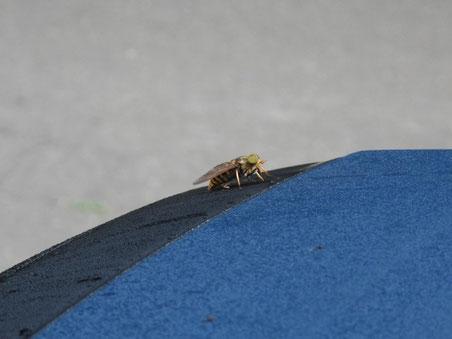 クルマの屋根にとまった吸血アカウシアブ君。私の車の色は濃紺で幌の色は紺色なんですよ。
