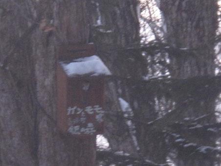 モモンガの巣箱からモモンガが顔を出す。動くものの撮影は難しい。