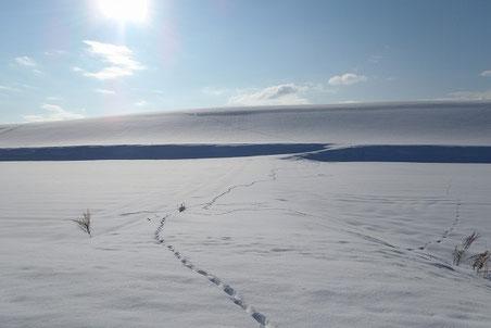 キタキツネの足跡が続く美瑛の丘