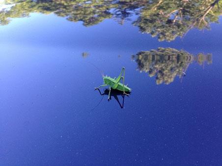 ハネナガキリギリスの幼虫