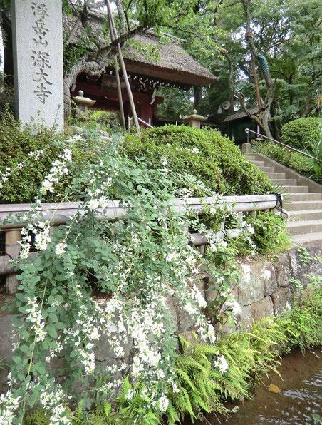 9月20日(2014) 白萩(シラハギ)と深大寺山門(調布市)