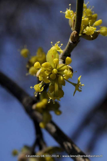 fleur cornouiller mâle, Cévennes