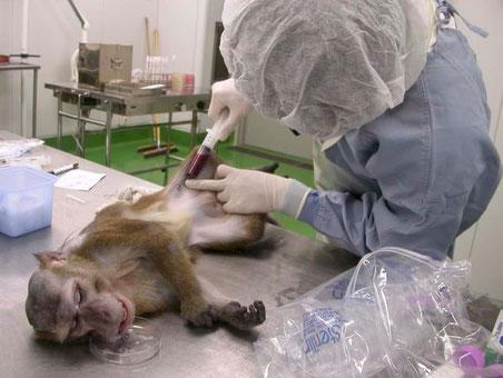 サルでの感染防御能を査定する実験。 共同研究者、国立感染症研究所 前山博士提供
