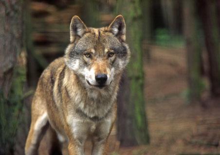 Wolf im Großformat sieht in die Kamera