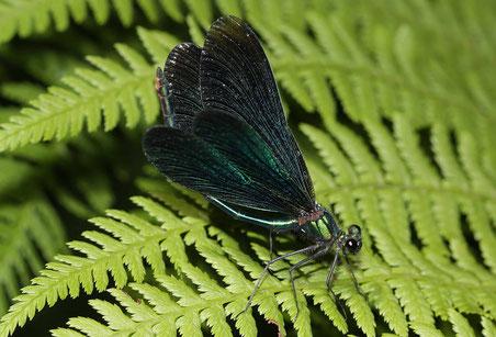 Ein Männchen der Blauflügel - Ptachtlibelle, Calopteryx virgo, beim Putzen der Flügel mit dem Hinterleib.