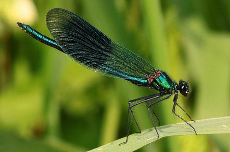Bei diesem Männchen der Gebänderten Prachtlibelle, Calopteryx splendens, sieht man die dornenbesetzten Beine sehr gut.