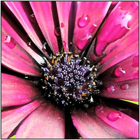 Cape daisies (Osteospermum fruticosum)