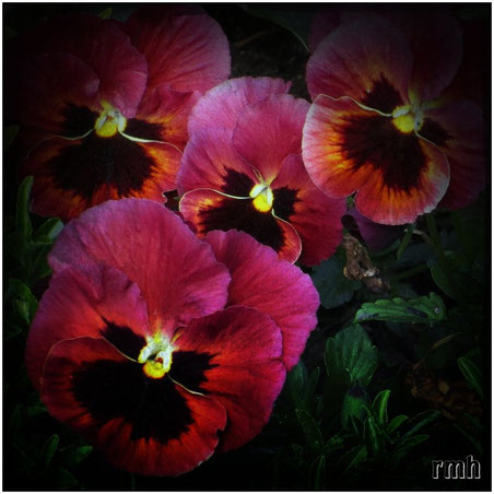 ruby pansies