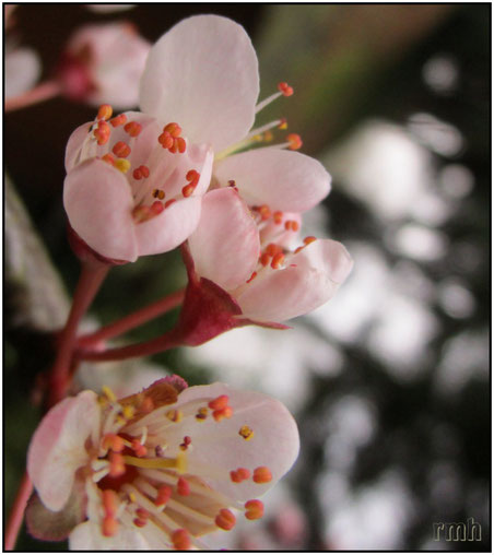 japanese plum blossoms (prunus mume)
