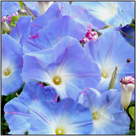 heavenly blue Ipomoea