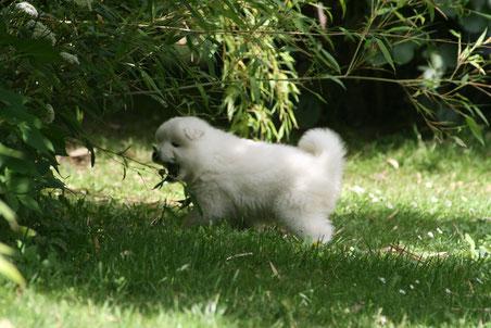 Weiße Hündin