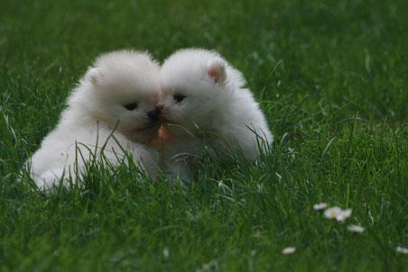 Weißer Rüde (links) und weiße Hündin (rechts)