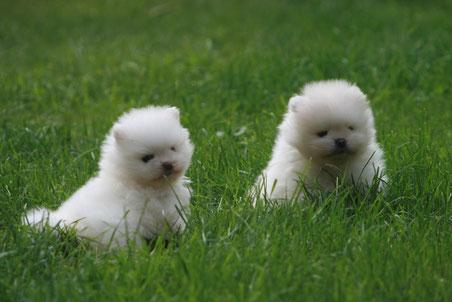 Weiße Hündin (links) und weißer Rüde (rechts)