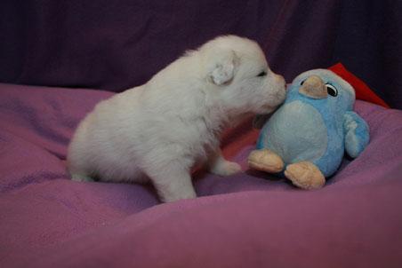 Weißer Rüde mit Pino dem Pinguin